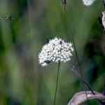 Blomfluga på rastplats utanför Falköping