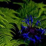 En blå blomma mitt i det grö