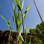 Gräs eller liknande spröt