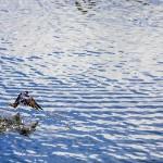 Svala på väg upp från vattnet