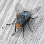Äcklig fluga