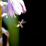 Blomfluga som hovrar.