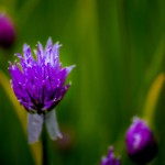 En lila klick i det gröna