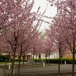 Prunkande träd i Sofiaparken