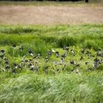 Fåglar lyfter från marken